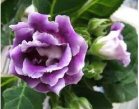 Невибагливі і красиві кімнатні рослини фото