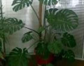 Невибагливі рослини у вашому домі фото