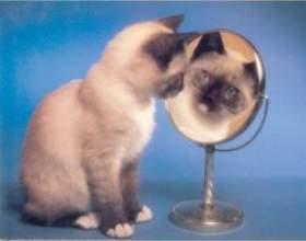Непростий характер сіамських кішок фото
