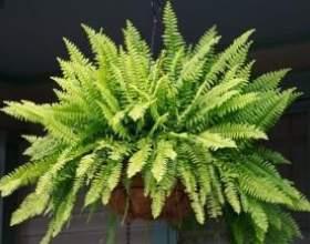 Папороті кімнатні: основний догляд за рослинами фото