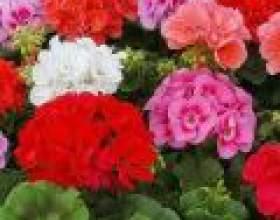 Пеларгонія: особливості вирощування фото