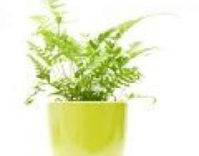 Даваллія: вирощування, догляд в домашніх умовах фото