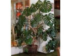 Корисні для здоров'я кімнатні рослини фото
