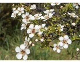 Застосування ефірного масла чайного дерева фото
