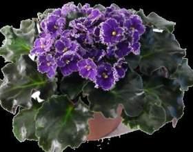Розмноження фіалки листом - найпростіший і швидкий спосіб фото