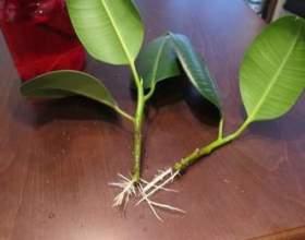 Розмноження фікуса в домашніх умовах: живцями або листом? фото