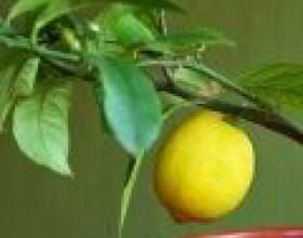 Лимонне дерево будинку: догляд і вирощування фото