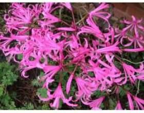 Садові квіти: багаторічники неріне фото