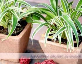 Самі невибагливі кімнатні рослини фото