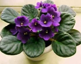 Сенполія - вирощування, догляд, пересадка і розмноження фото