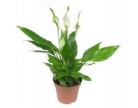 Спатифіллум - кімнатна рослина фото