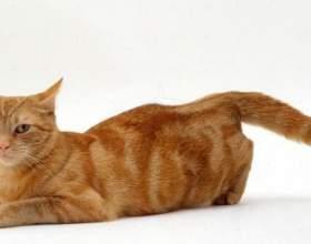 Тічка у кішок: етапи і поради господарям фото