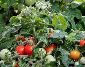 Томат «дубок» - високоврожайний карликовий сорт фото
