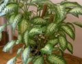 Уроки рослинництва: диффенбахія фото