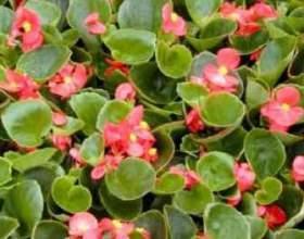 Вічноквітуча бегонія: догляд за квіткою фото