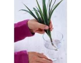 Вегетативне розмноження кімнатних рослин фото