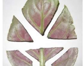 Вирощування фіалок - це непросто, але результат того вартий. Правила успішного вирощування фіалок в домашніх умовах фото